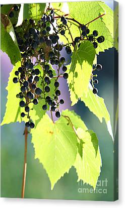 Grapes And Leaves Canvas Print by Michal Boubin