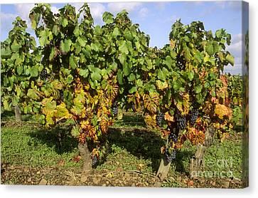 Grapes Growing On Vine Canvas Print by Bernard Jaubert