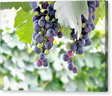 Grapes On The Vine Canvas Print by Glennis Siverson