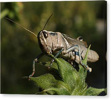 Grasshopper 2 Canvas Print by Ernie Echols