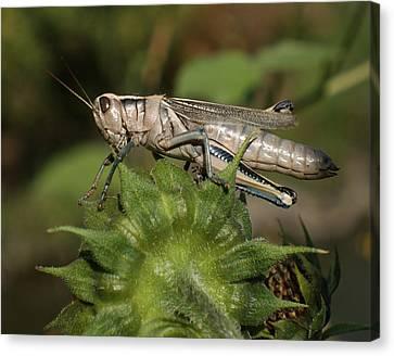 Grasshopper Canvas Print by Ernie Echols