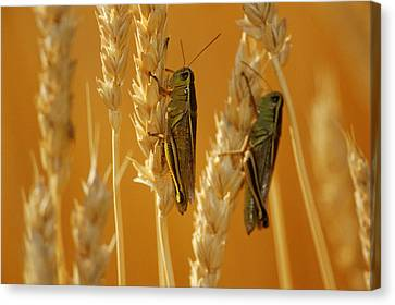Grasshoppers On Wheat, Treherne Canvas Print by Mike Grandmailson