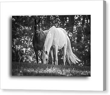 Grazing In Black And White Canvas Print by Brian Wallace
