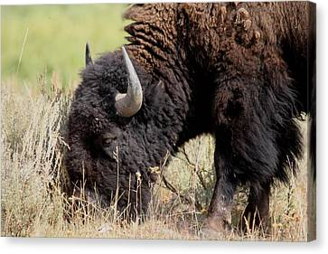 Grazing The Yellowstone Valley Canvas Print by David Dunham