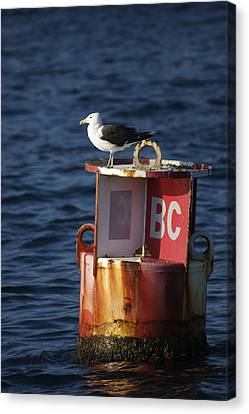 Great Black-backed Gull Canvas Print by Tim Laman