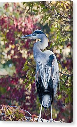 Great Blue Heron Canvas Print by David Martorelli