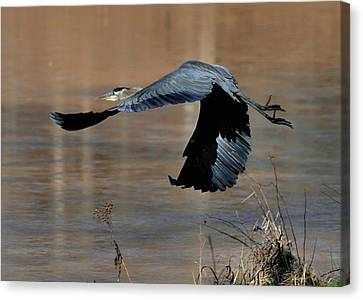 Great Blue Heron Flight - C1287g Canvas Print by Paul Lyndon Phillips