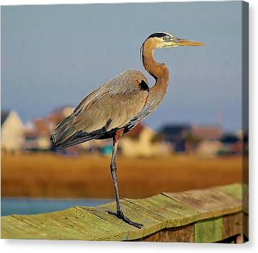 Great Blue Heron On The Marsh Canvas Print by Paulette Thomas