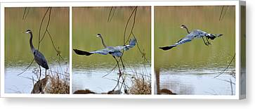 Great Blue Heron Takes Flight - T9535-7h  Canvas Print by Paul Lyndon Phillips