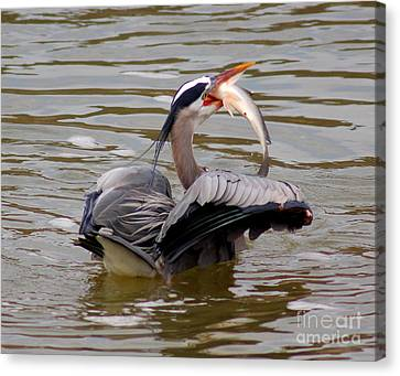 Great Blue With A Drum Canvas Print by Robert Frederick