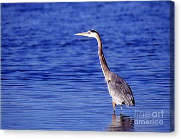 Great Grey Heron Canvas Print by Science Source