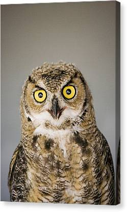 Great Horned Owl Canvas Print by Henry Georgi Photography Inc
