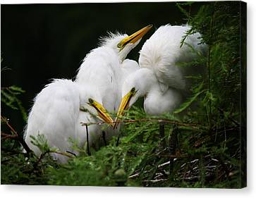Great White Egret Babies In The Nest Canvas Print by Paulette Thomas