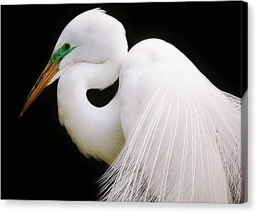 Great White Egret In Breeding Plumage Canvas Print by Paulette Thomas