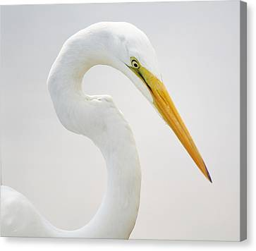 Great White Egret In Deep Thought Canvas Print by Paulette Thomas