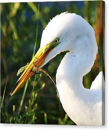 Great White Egret In The Lizard Canvas Print by Paulette Thomas
