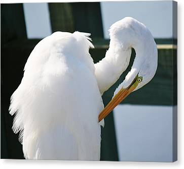 Great White Egret Preening Canvas Print by Paulette Thomas