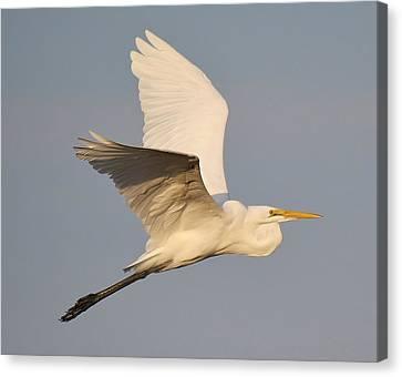 Great White Egret Soaring Canvas Print by Paulette Thomas