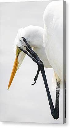 Great White Egret With A Itch Canvas Print by Paulette Thomas