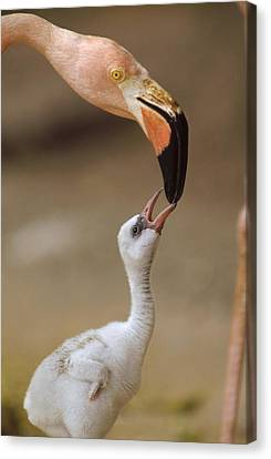 Greater Flamingo Mother And Chick Canvas Print by Tim Fitzharris