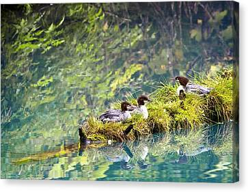 Grebe Podicipedidae Birds Sitting On A Canvas Print by Richard Wear