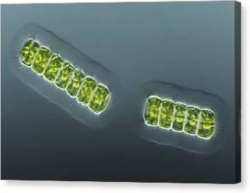 Green Algae, Light Micrograph Canvas Print by Frank Fox