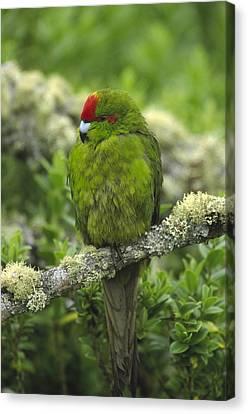 Green-cheeked Amazon Parrot Amazona Canvas Print by Konrad Wothe