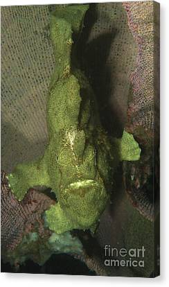 Green Frogfish In Sponge, North Canvas Print by Mathieu Meur