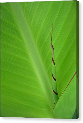 Green Leaf With Spiral New Growth Canvas Print by Nikki Marie Smith