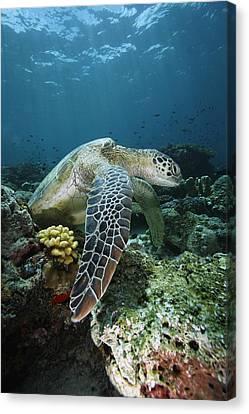Green Sea Turtle Chelonia Mydas Canvas Print by Hiroya Minakuchi