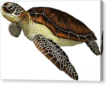 Green Sea Turtle Canvas Print by Roger Hall and Photo Researchers