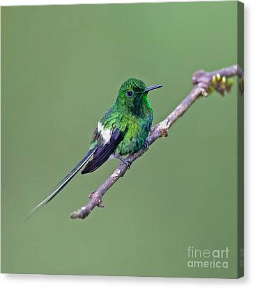 Green Thorntail Canvas Print by Jean-Luc Baron