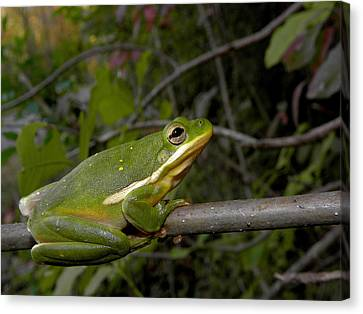 Green Tree Frog Canvas Print by Griffin Harris