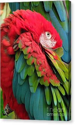 Green-winged Macaws Canvas Print by Frank Townsley