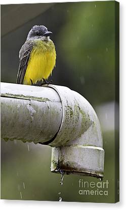 Grey-capped Flycatcher Canvas Print by Heiko Koehrer-Wagner