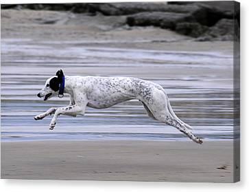 Greyhound - Flying Canvas Print by Thomas Maya