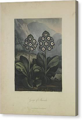 Group Of Auricula Canvas Print by Robert John Thornton