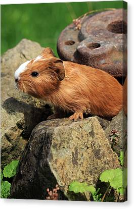 Guinea Pigs Canvas Print by Falko Follert