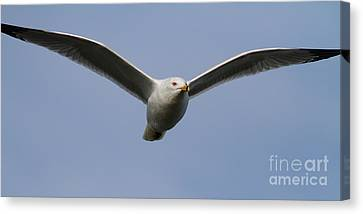 Gull In Flight . 7d12082 Canvas Print by Wingsdomain Art and Photography