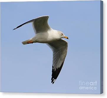 Gull In Flight . 7d12084 Canvas Print by Wingsdomain Art and Photography
