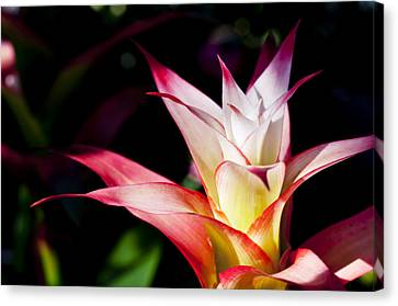 Guzmania Apache Flower Canvas Print by Joe Carini - Printscapes