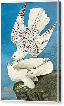 Gyrfalcon Canvas Print by John James Audubon