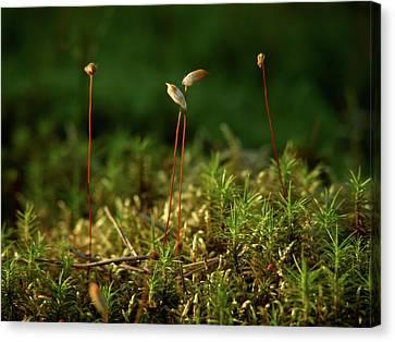 Haircap Moss Canvas Print by Jouko Lehto