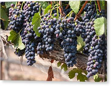 Hanging Wine Grapes Canvas Print by Dina Calvarese
