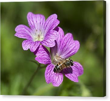 Hardy Geranium And Honey Bee Canvas Print by Kathy Clark