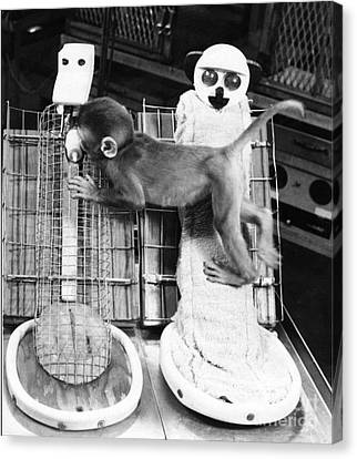 Harlows Monkey Experiment Canvas Print by Photo Researchers, Inc.