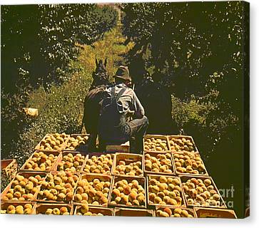 Hauling Crates Of Peaches Canvas Print by Padre Art