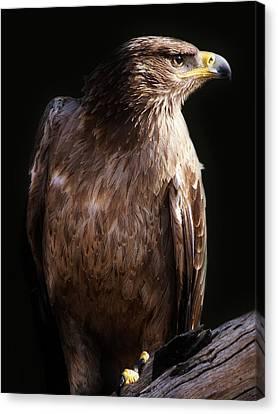 Hawk Canvas Print by Paulette Thomas