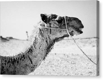 head of a dromedary camel being led through the sahara desert at Douz Tunisia Canvas Print by Joe Fox