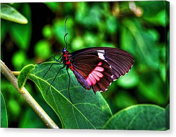 Hello Flutterby Canvas Print by Randy Aveille